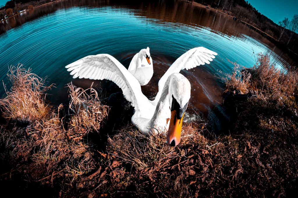 A photograph of a swan rising up out of a river towards the camera.